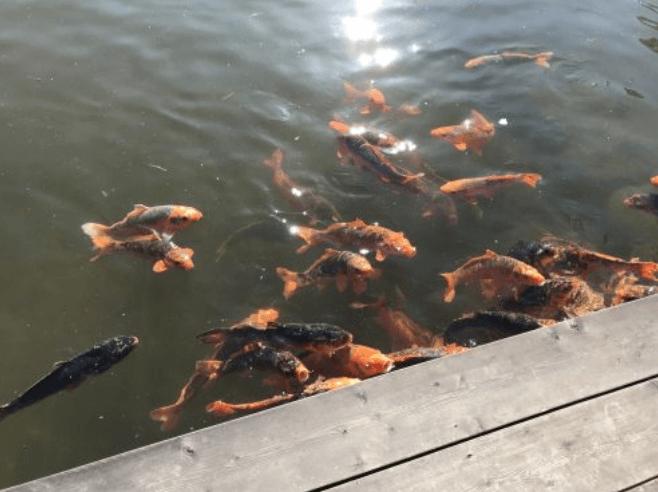 天守閣自然公園の池の鯉